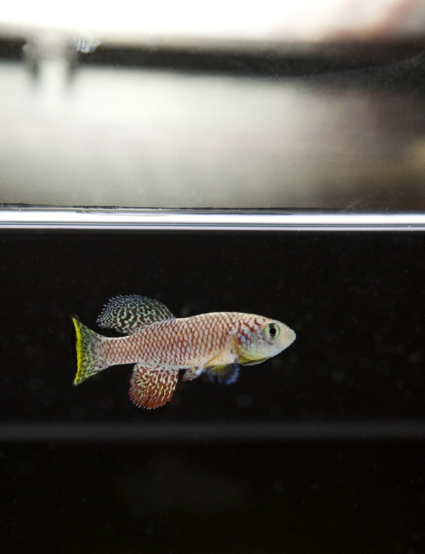 Photo of an African killifish